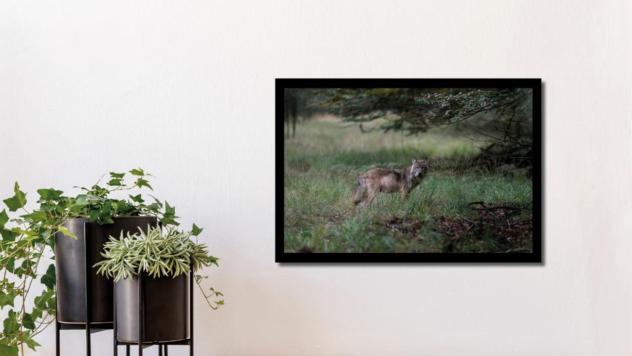 Product afbeelding: Fotoprint Wolf op de Veluwe